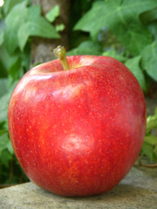 Chèvre chaud sur pommes croquantes & miel de romarin