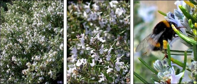 Buissons de romarin